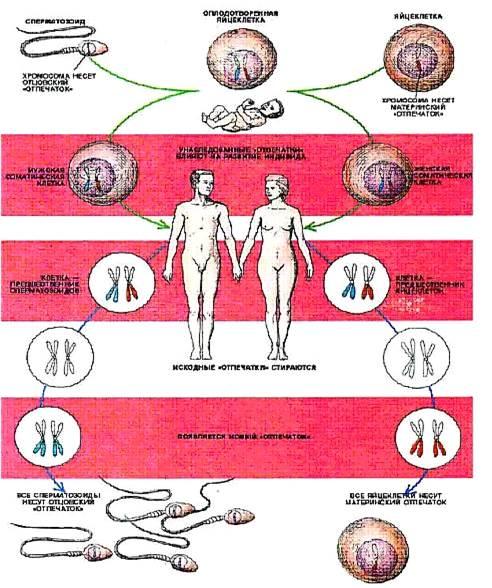 kriticheskoe-chislo-spermatozoidi